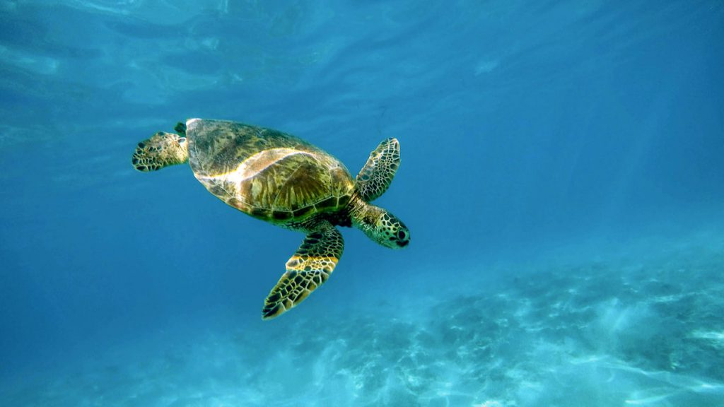 Swim in the Caribbean with sea turtles on your Take It Easy charter